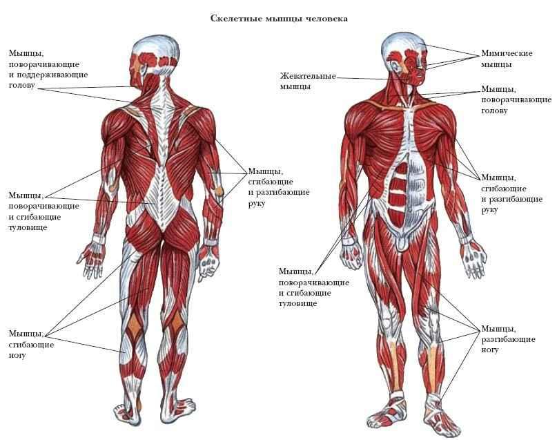 для себя скелетные мышцы выполняют функции восстановлена ранее