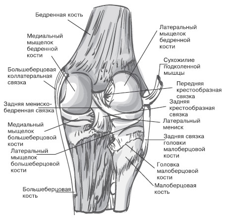 плечевой сустав кости мышцы