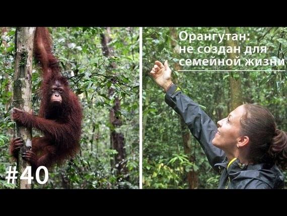 Евгения Тимонова Орангутан: не создан для семейной жизни евгения хохлова неблагодарности ради…