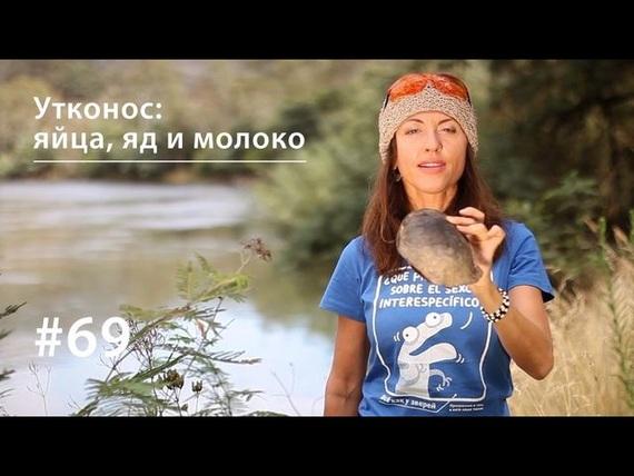 Евгения Тимонова Утконос: яйца, яд и молоко утконос sd
