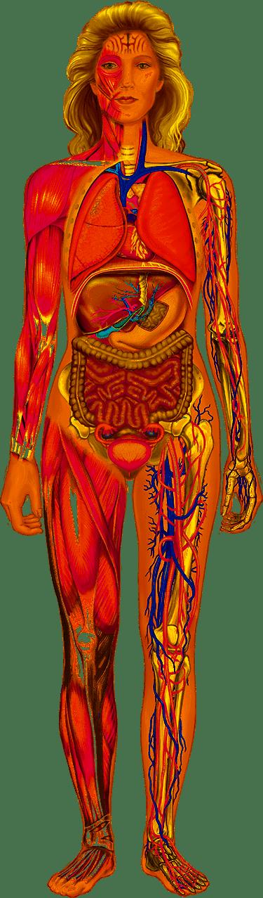 картинки органов девушки бассейн